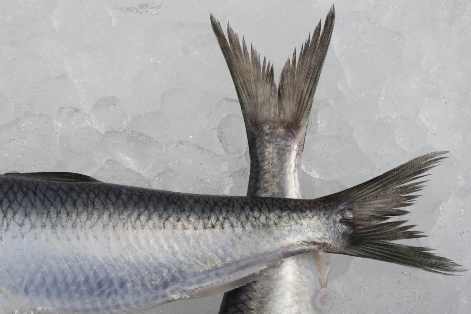 Fersk sild fra Nordsjøen på is