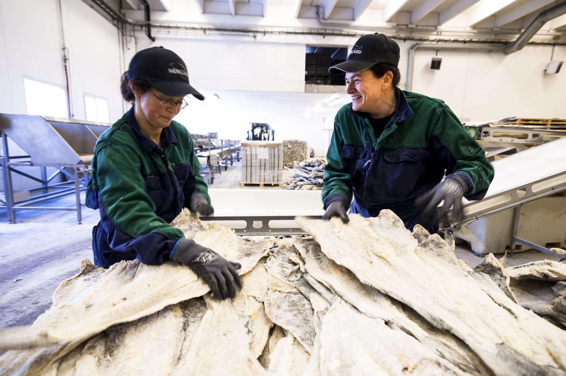 Saltet klippfisk i produksjon hos Nergård